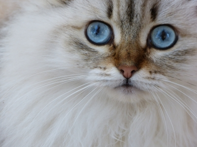 "Image ""Siberian Cat"" courtesy of Willem Siers at www.freedigitalphotos.net"