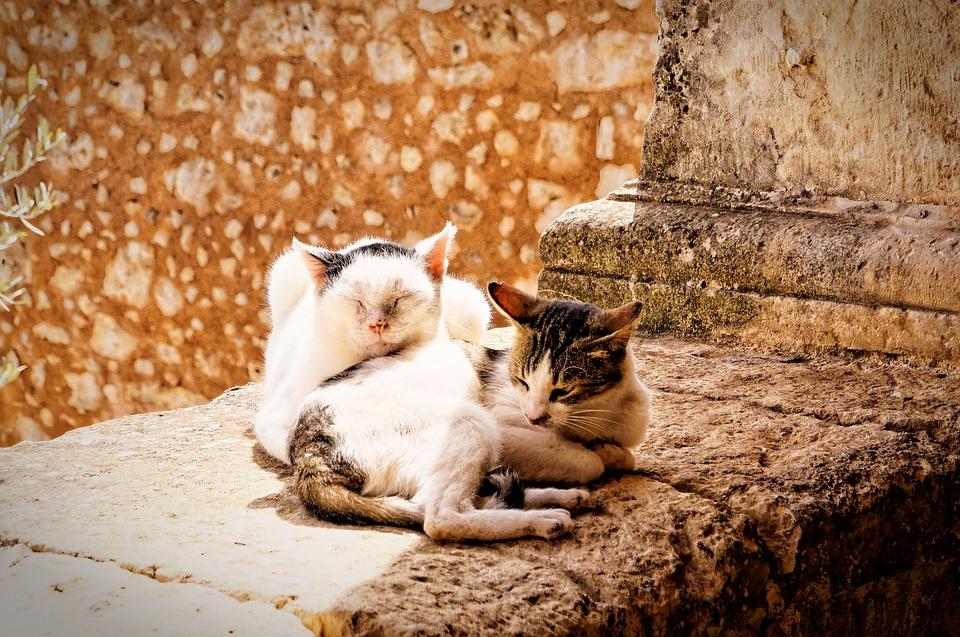 Tips Bagaimana Merawat Kucing Mengawinkan Kucing Galak Baru Kenal