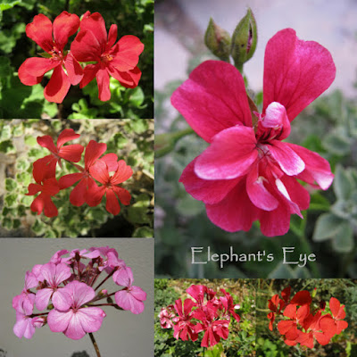January's red ish pelargoniums
