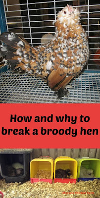 stopping | broody hen