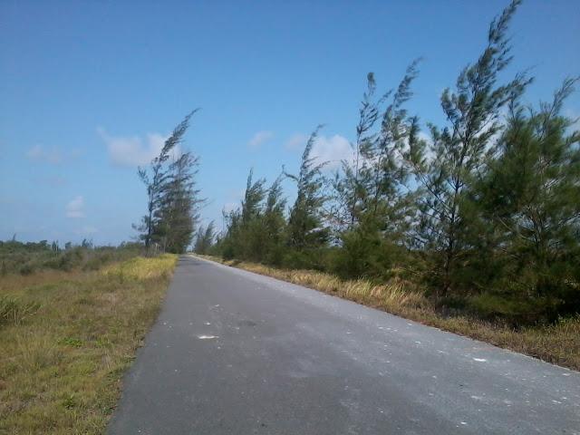 Pohon Cemara kalap gadur