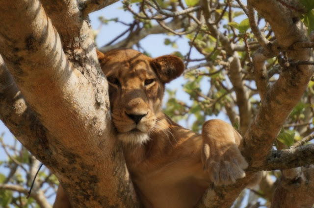 A sure fire way to recover from one of those days | Morgan's Milieu: A lion, in a tree. Lion King anyone?