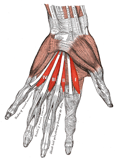 lumbricals muscles