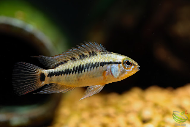 Apistogramma Viejita from Rio Guarrojo