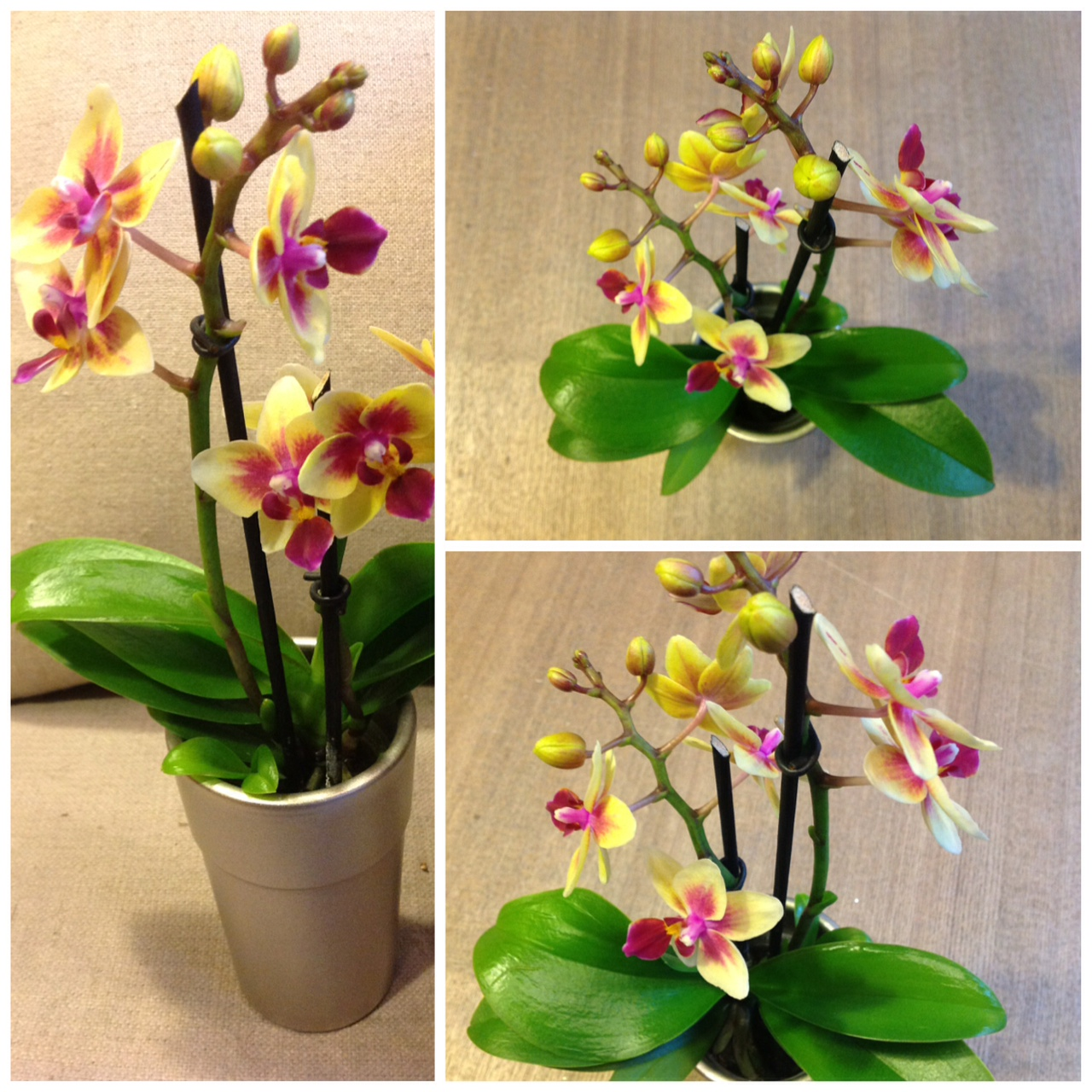 Sweetpea S Mini Orchids