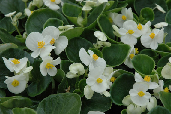 Begonya Begonia çiçeği Bakımı Ve çoğaltılması çiçek Bakımı