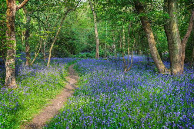 Bluebells cover the ground next to a woodland path in Cambridgeshire