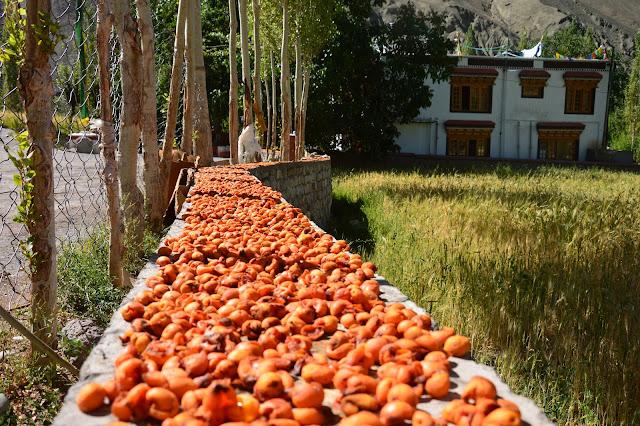 Abricots séchés au Ladakh