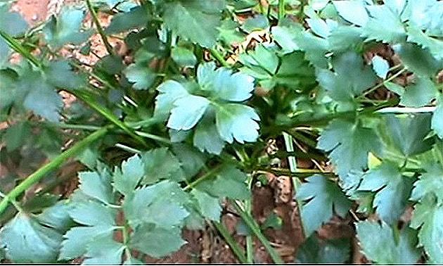 Aipo (Apium graveolens L.)