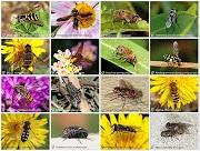 Ordo Diptera