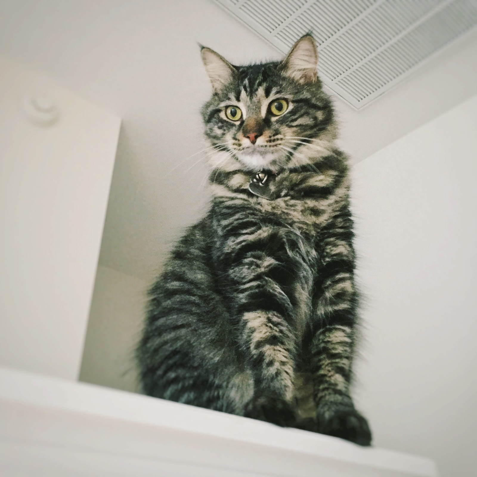 tabby striped cat part maine coon dash