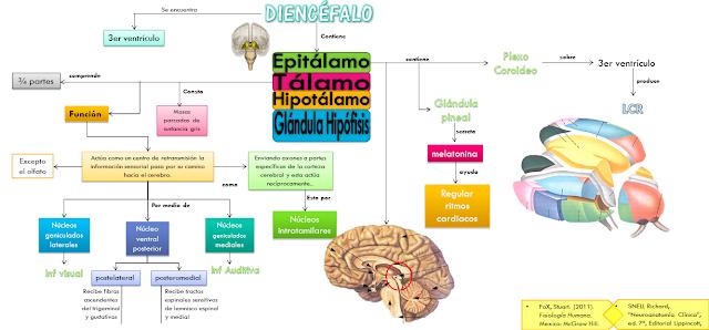 Neo médico : Diencéfalo (Tálamo y Epitálamo)