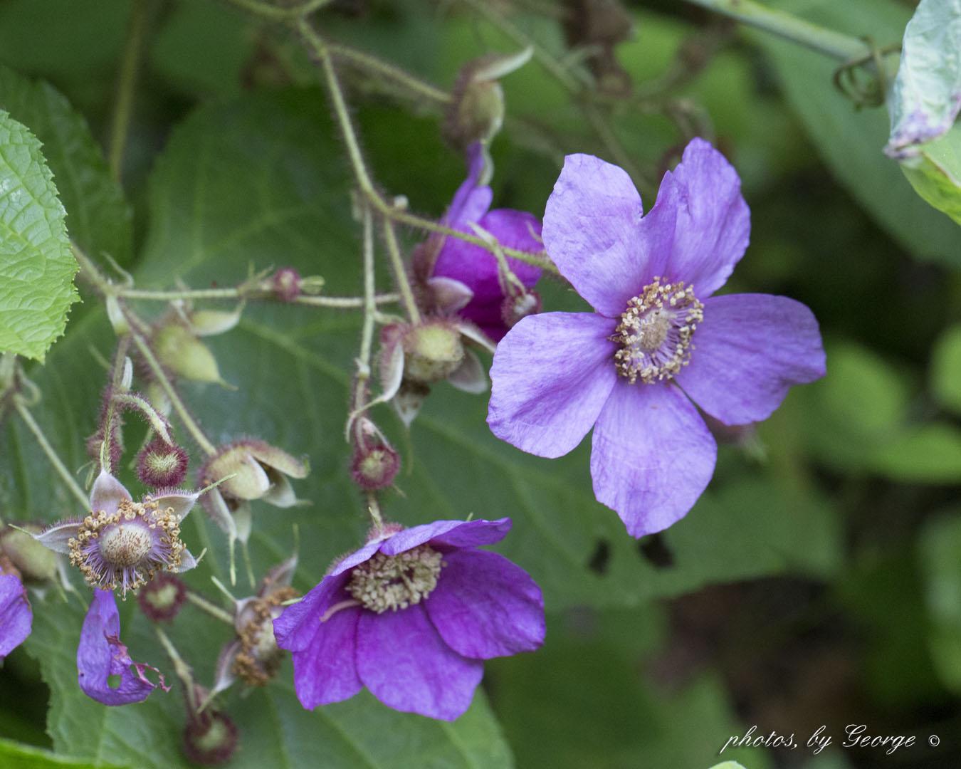 What 39 S Blooming Now Purple Flowering Raspberry Rubus
