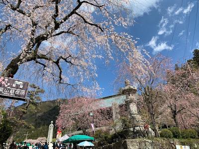 久遠寺三門前の桜