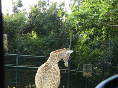 giraffe, wordless wednesday