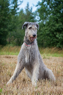 Everything about your Irish Wolfhound