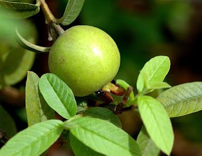 Bất ngờ với khả năng trị mụn của 3 loại lá quen thuộc