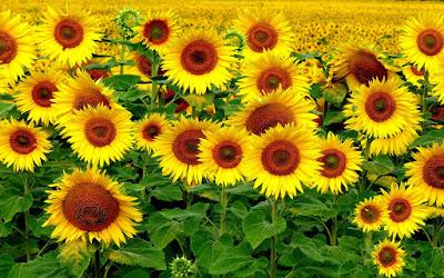 Hoa hướng dương đẹp nhất thế giới 13
