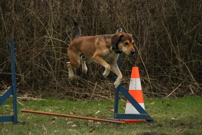¿Qué debes saber a la hora de entrenar a tus perros para campeonatos?