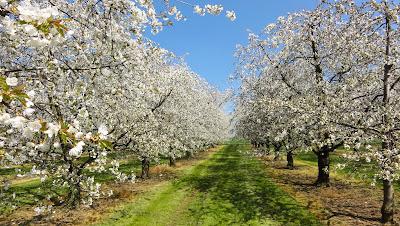 Kirschblüte zwischen Känerkinden und Wittinsburg