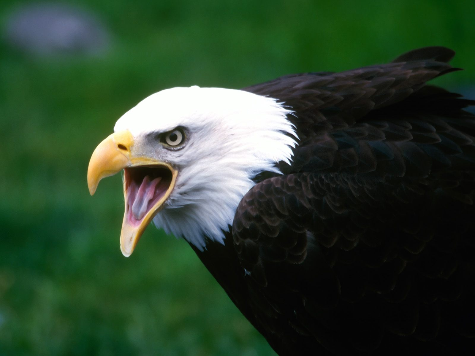 Fabulous And Amazing Eagle Wallpapers in HD - For More Wallpapers Just Click On Image