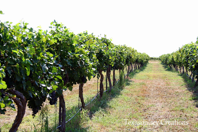 Vineyard in Seymour Texas 4