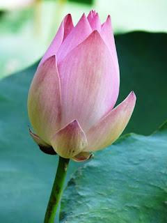 Gambar Kuncup Bunga Teratai Sebelum Mekar_Lotus Flower Picture