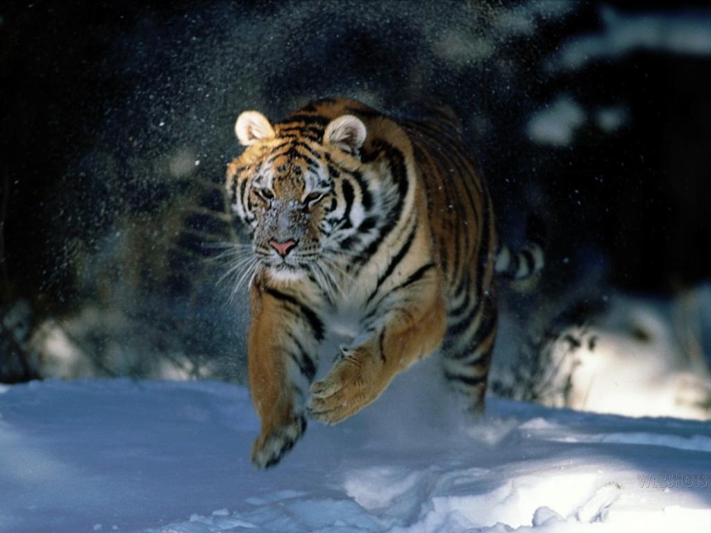 Tiger Animal Wallpaper Animal Tiger Free Wallpapers My Style