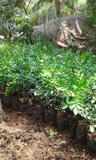 Jual Bibit Pohon Kemuning,Jual Pohon kemuning murah