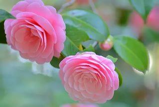 Цветок имени Ирина - камелия