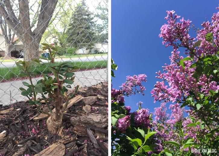 Rosebush & Lilacs // Garden Updates: Mid-Spring 2018 // www.thejoyblog.net