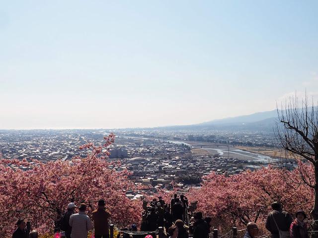西平畑公園 河津桜