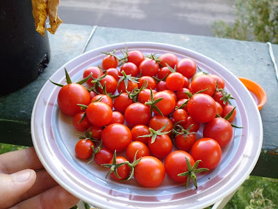 Red Cherry Large Fruited Tomato