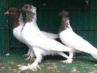 1010 Foto Gambar Burung Merpati Getakan HD Paling Bagus Free
