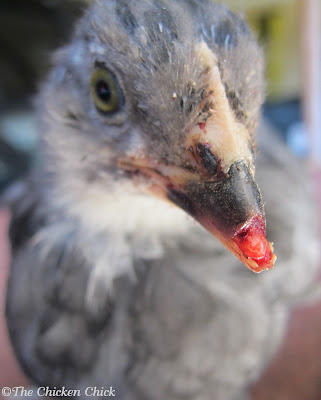 This Olive Egger chick was injured somehow, losing part of her upper beak,. I treated her with Vetericyn twice a day and was able to return to the flock within a week!