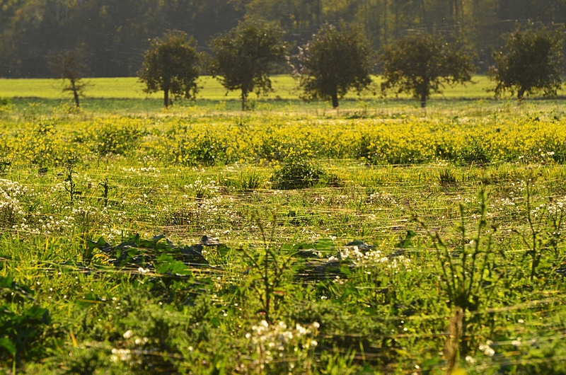 Campagne moutarde jaune fils d'araignées Puisaye