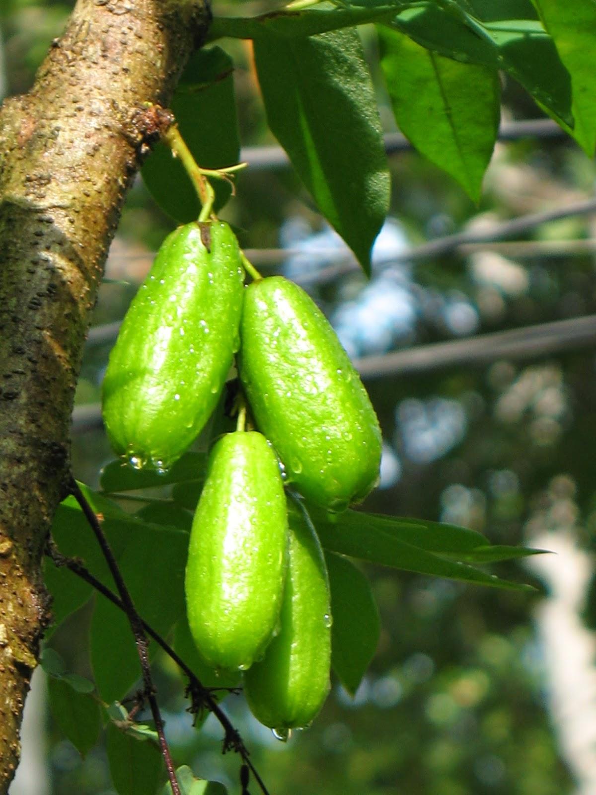 Belibing wuluh/ belimbing sayur