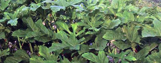How to grow okra.