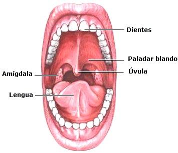 Imagen de la boca del ser humano a color