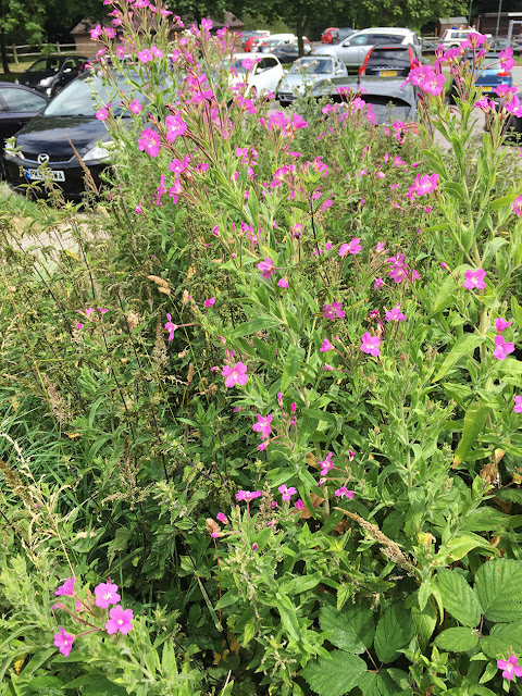 Great Willowherb, Epilobium hirsutum.  Goldsmith's Recreation Ground car park, Crowborough, 8 July 2017.