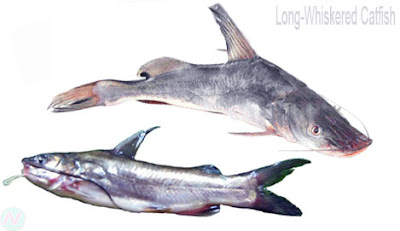 Long-whiskered catfish, আইড় মাছ