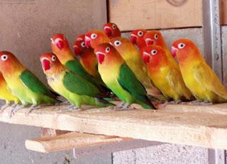 Manpaat/Khasiat Dan Harga Vitamin Burung Lovebird Ternak Saat Ini Paling Baru