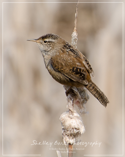 Marsh Wren. Copyright © Shelley Banks, all rights reserved.
