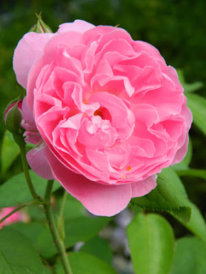 Rosa Ausmary Mary Rose David Austin shrub rose at Toronto Botanical Garden by garden muses-not another Toronto gardening blog