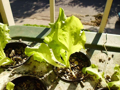 Nevada Lettuce in hydroponics