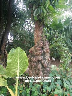 jual balibong pohon pelindung