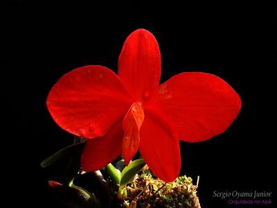 Mini-orquídea Sophronitis coccinea
