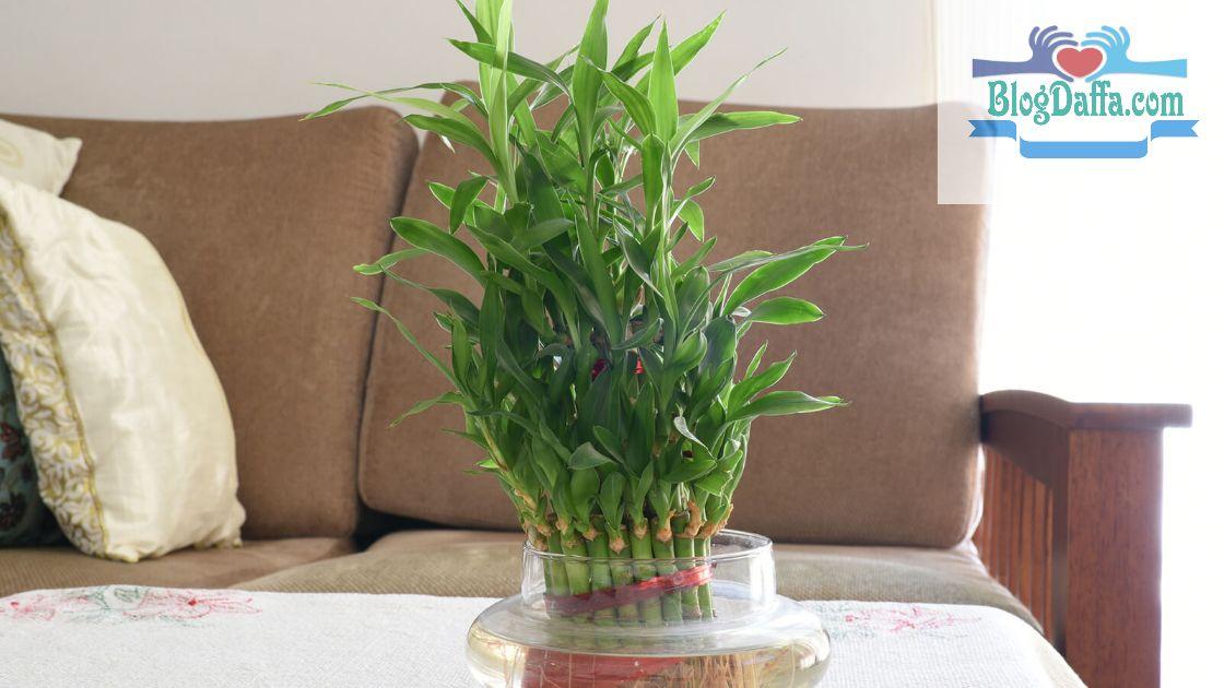 Bambu air tanaman pembawa keberuntungan
