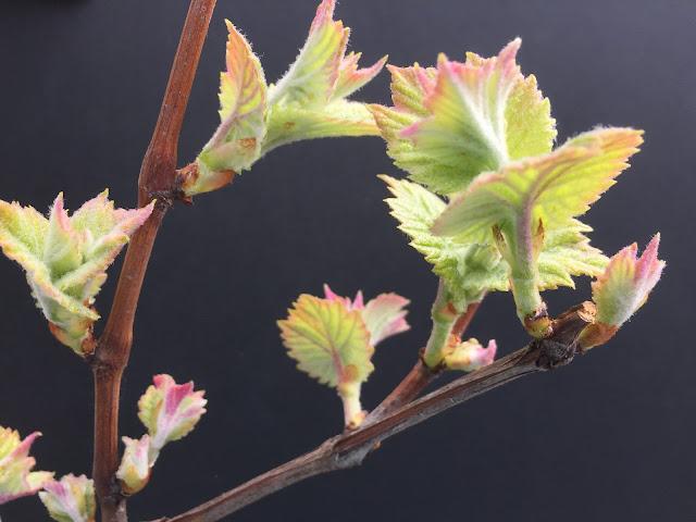 erste Blätter bei der Rebe