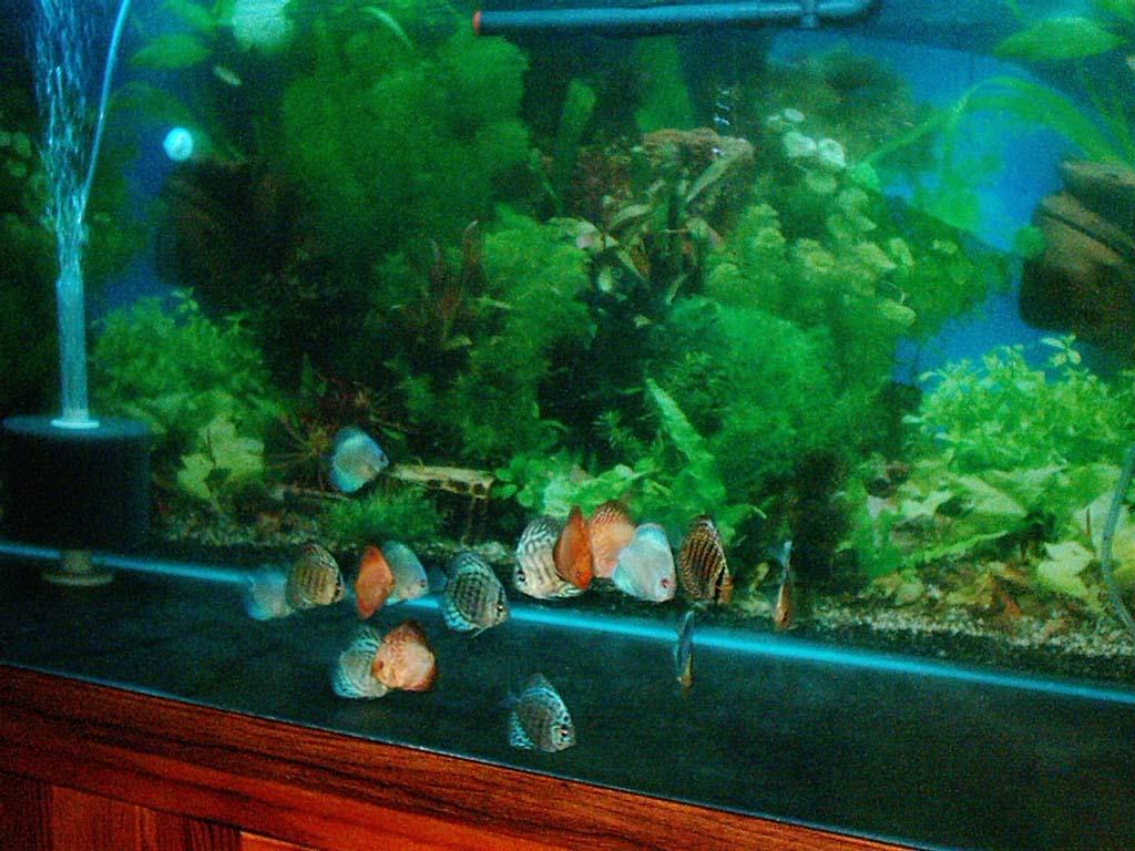 Discus fish 15 gallon discus kim 39 s 200 gallon aquarium for 15 gallon fish tank